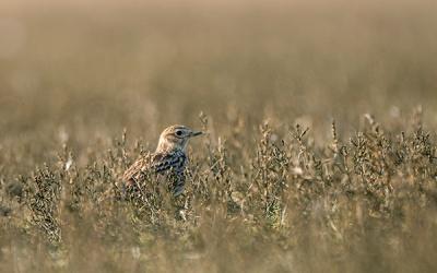 Vogelbeobachtung in den Salzwiesen zur Hamburger Hallig